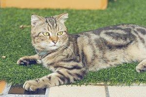 cute american short hair cat