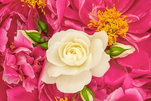 Pink peony flowers with white rose