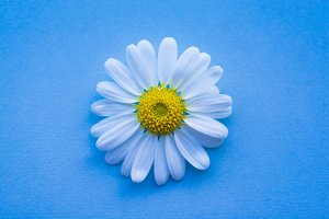 chamomile with blue background