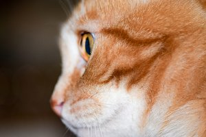 Red cat in profile