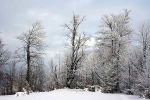 Winter snow-covered trees