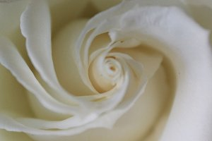 White Rose Bloom