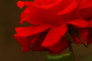 A Blooming Red Rose...