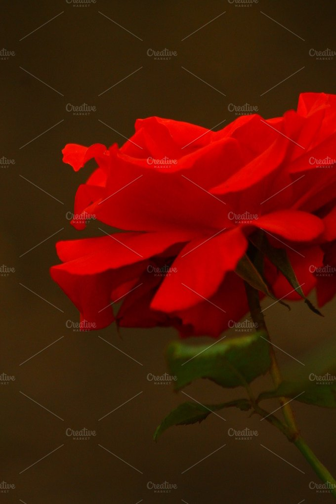 A Blooming Red Rose... - Nature