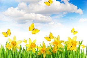Daffodil flowers and butterflies