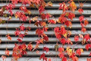 Red creeper at autumn