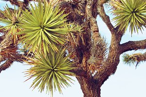 Joshua Tree Up Close
