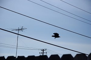 Crow Flying Low (Photo)