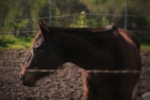 Brown Horse (Photo)