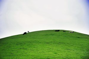 Cows On a Green Hill (Photo)