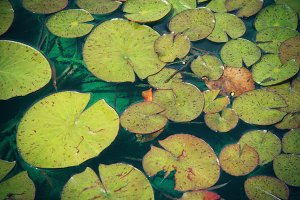 Lily Pads (Photo)