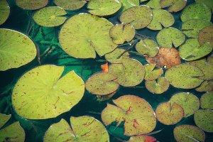 Lily Pads (Photo)