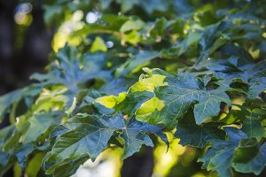 Light on Green Leaves (Photo)