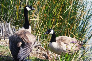 Two Geese (Photo)
