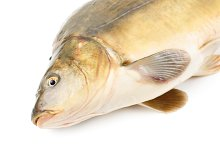 Scaleless carp isolated on white