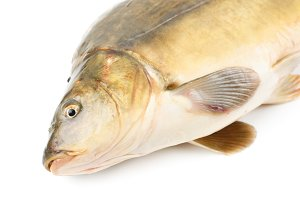 Scaleless carp isolated on white