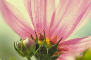 iseeyouflower cosmos