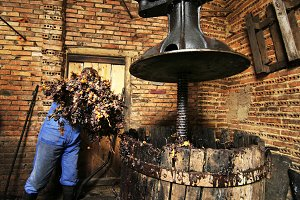 farmer throwing grapes in winepress