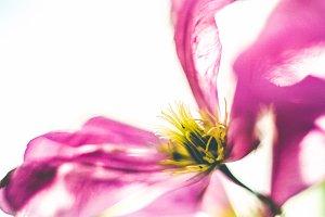 iseeyouflower clematis