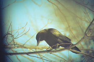 Black Crow in Tree