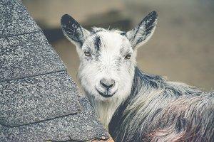 Shy Goat