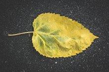 Autumn leaf on sidewalk