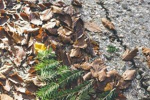 Pine tree miniature on autumn leaves