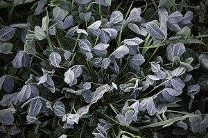 Frozen clover