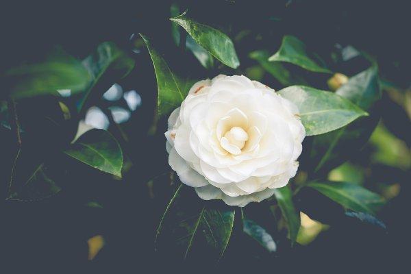 White Camellia Flower High Quality Nature Stock Photos