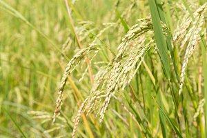 ears of rice