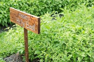 holy basil plants