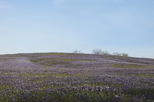 Bluebonnet Hill in Ennis, Texas