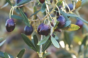 Olive branch ripe