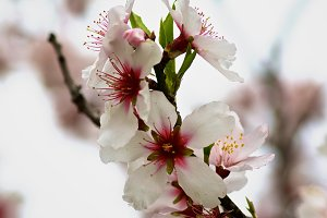 Beauty Cherry Blossom