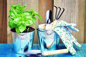 Basil and gardening tools