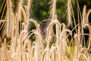 Golden Wheats
