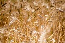 Golden Wheats 2