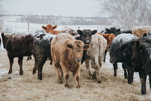 Calves in Winter