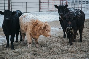 Two Calves in Winter on Farm
