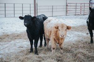 Two Calves Eating - Winter Scene