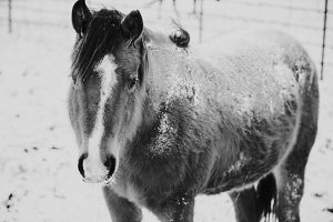 Horse in Winter - Black and White
