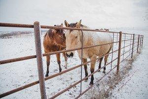 Horses in Winter - Iowa USA