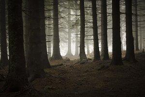 Dark pine tree mountain forest