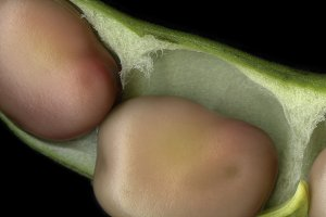 Broad beans /LARGE